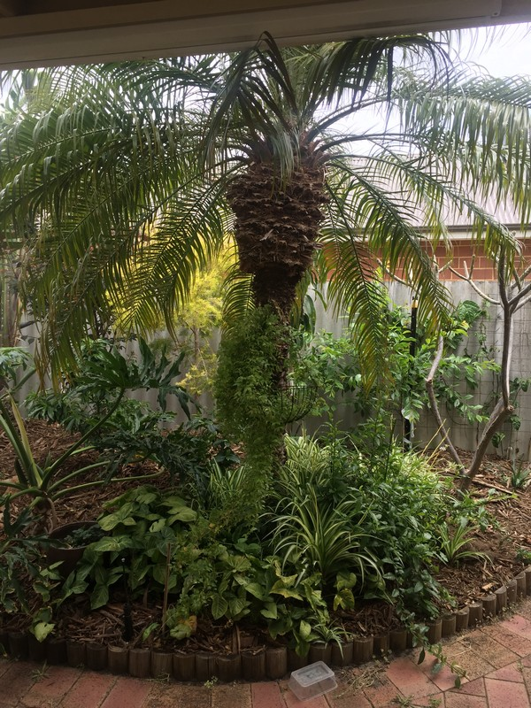 However Those Aside It Is A Beautiful Looking Palm And Certainly Provides A  Tropical Feel Under My Patio.