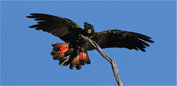 Black Cockatoo Preservation Society of Australia
